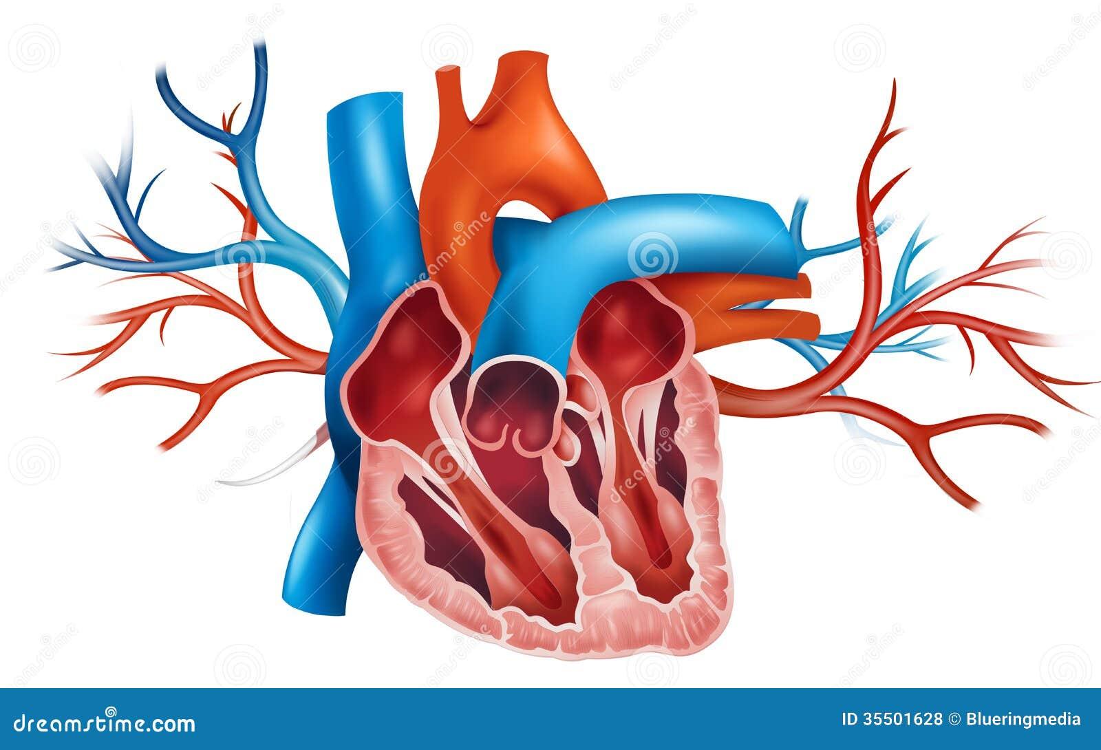 Human Heart Royalty Free Stock Photos - Image: 35501628