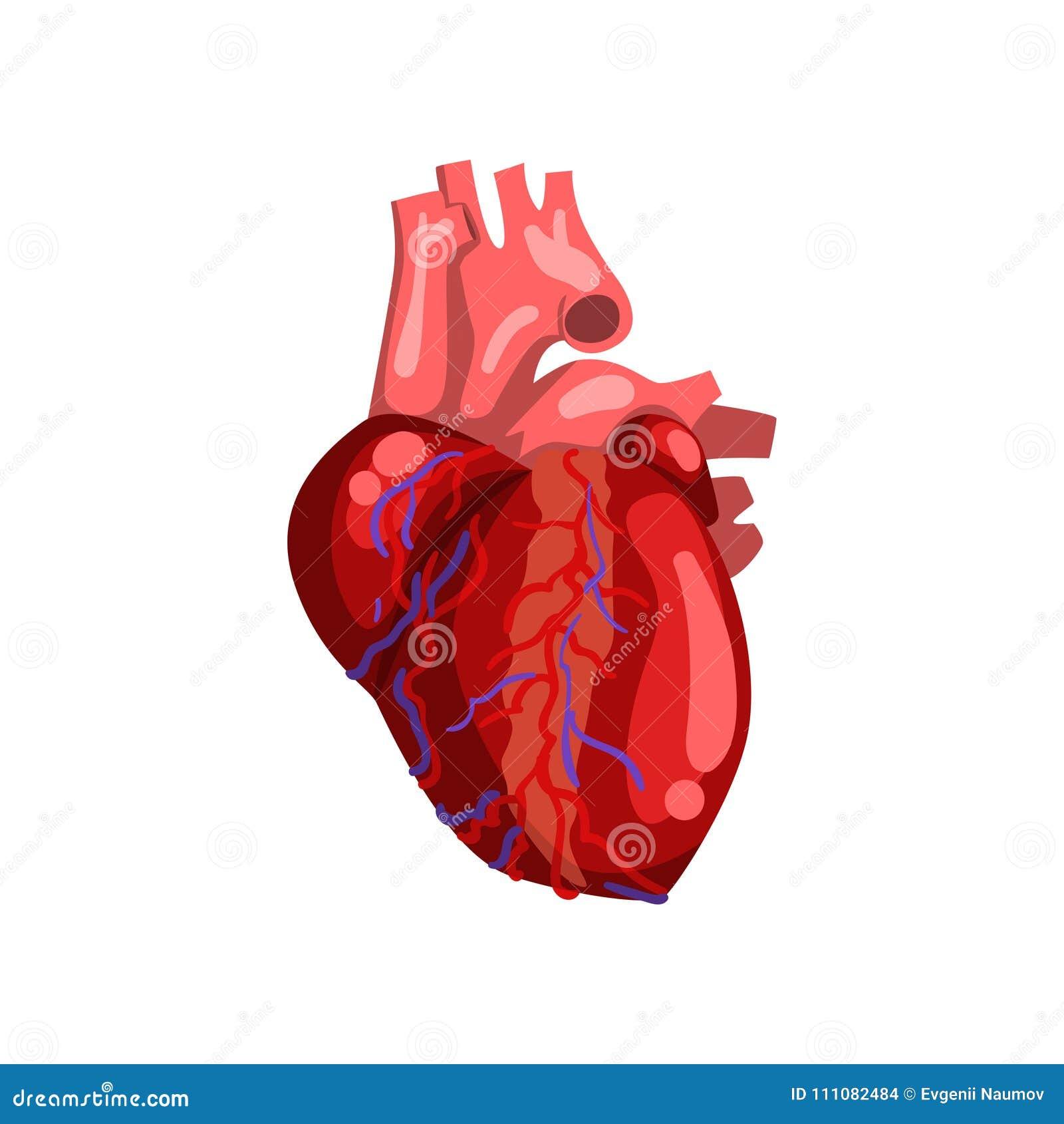 Human Heart Internal Organ Anatomy Vector Illustration On A White