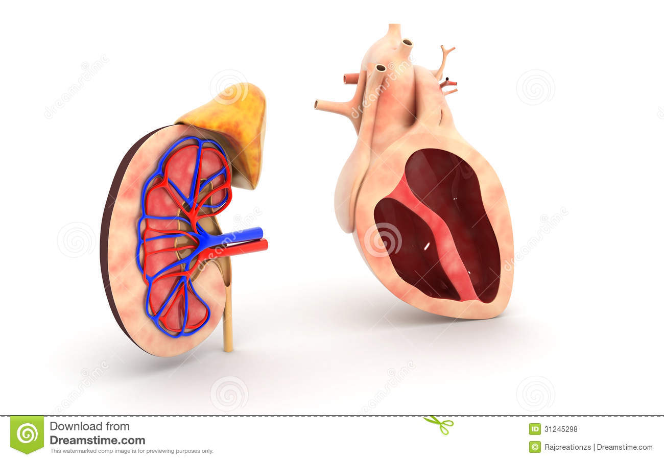 cell diagram biology human heart and kidney royalty free stock photos image