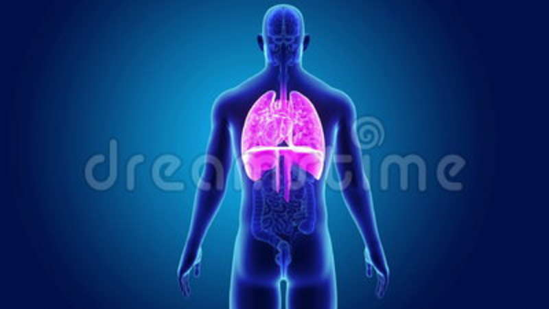 Human Heart Lungs And Diaphragm With Organs Stock Footage Video