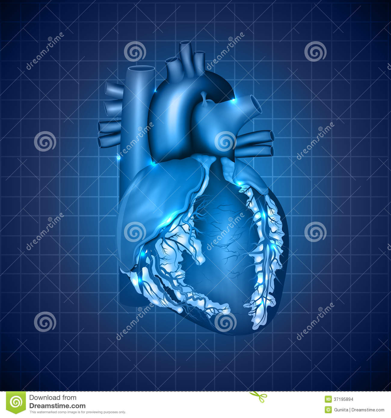 Human Heart Medical Illustration Stock Vector