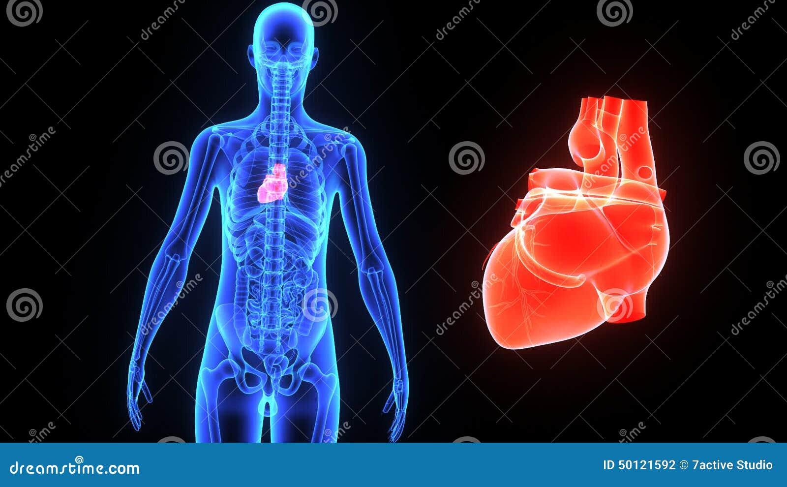Human Heart Stock Footage Illustration Of Human Healthcare 50121592