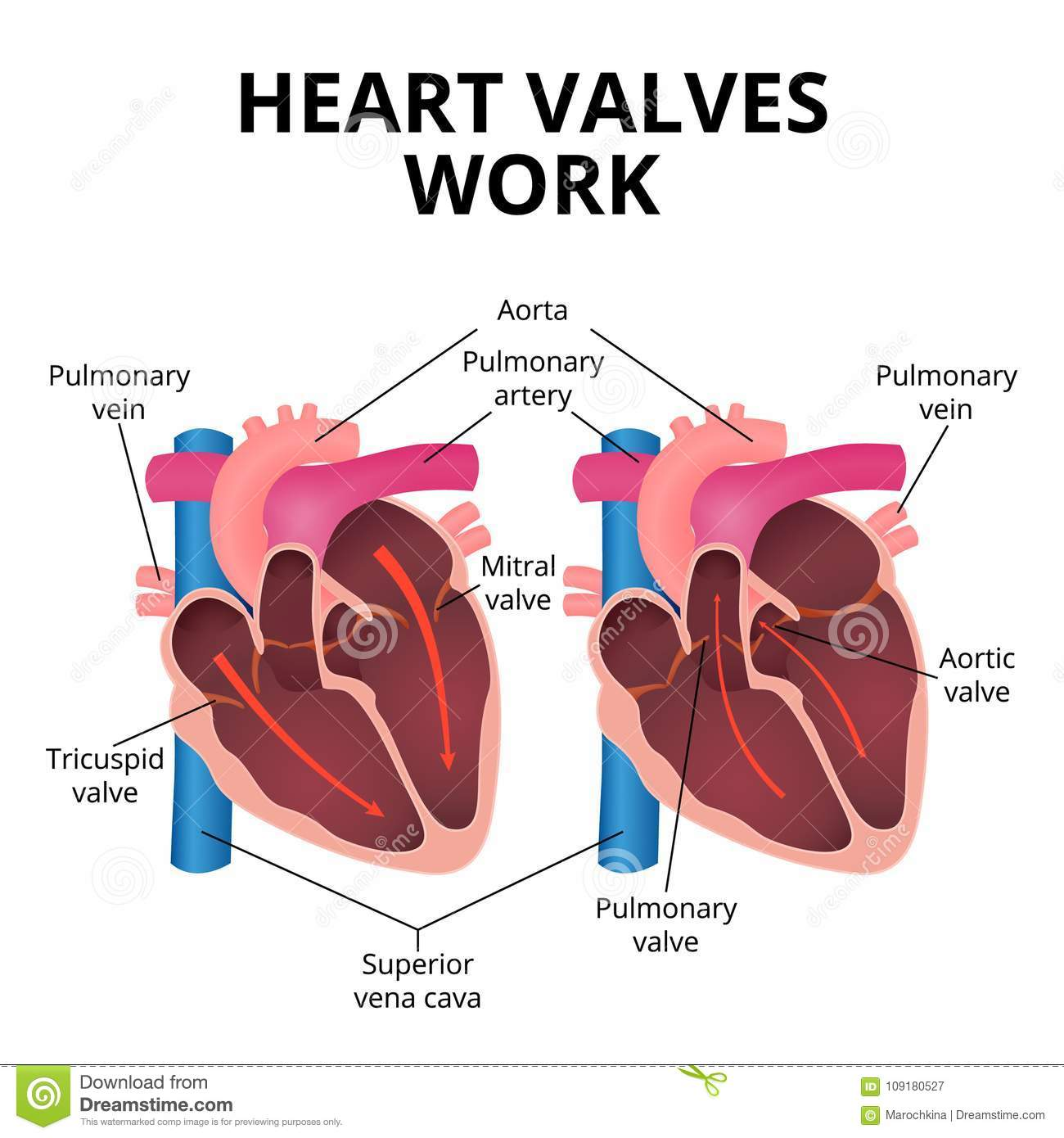 Anatomy Of The Human Heart Stock Vector Illustration Of Bile