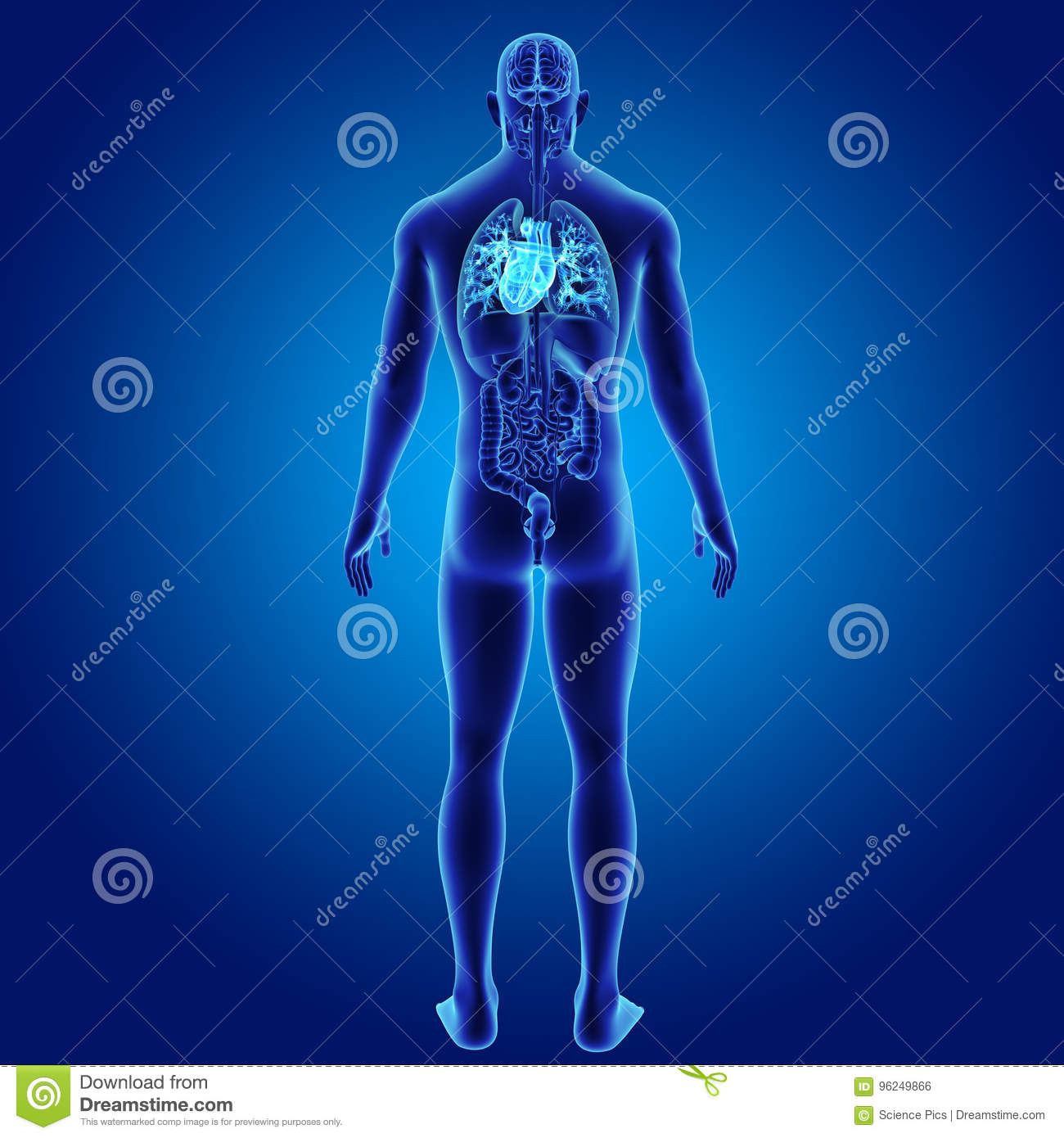 Human Heart With Organs Posterior View Stock Illustration