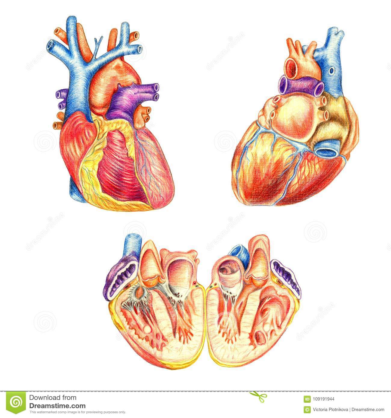 The Human Heart Viewed From The Front Behind And Lengthwise Cut