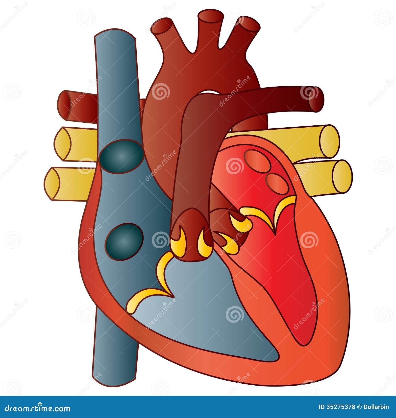Human heart stock vector illustration of atrium heart 35275378 human heart ccuart Choice Image