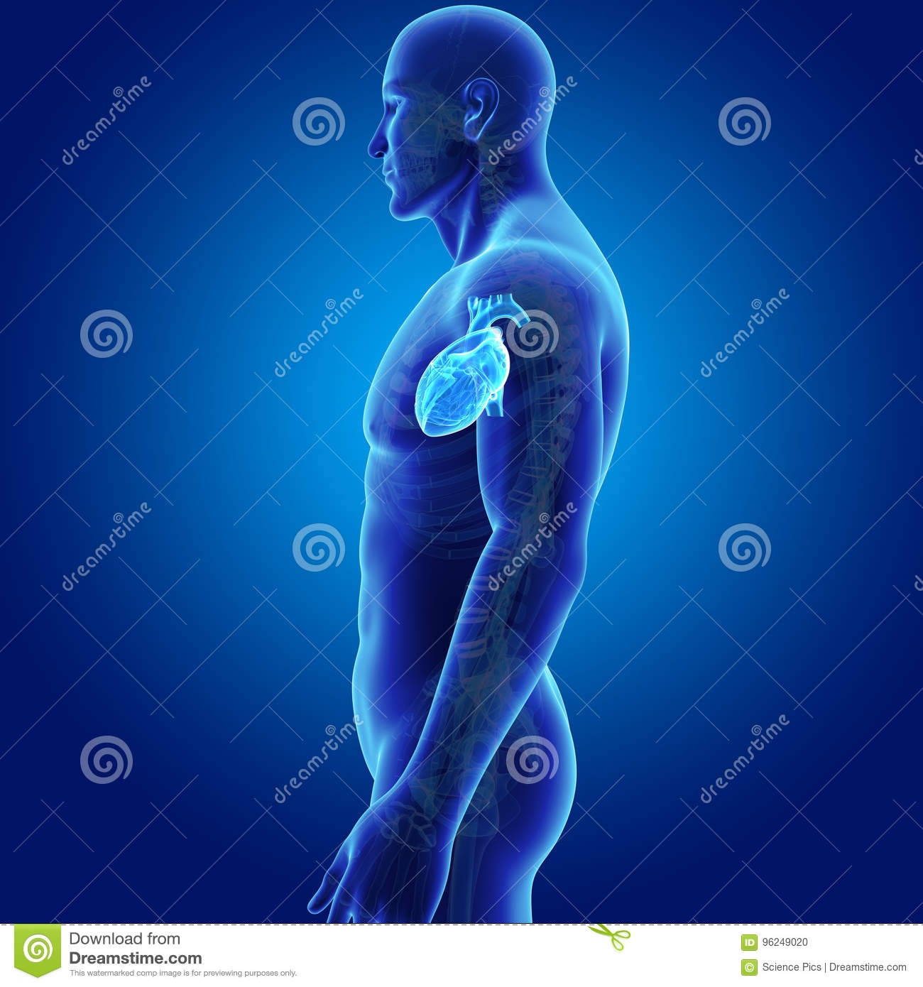 Human Heart With Skeleton Lateral View Stock Illustration