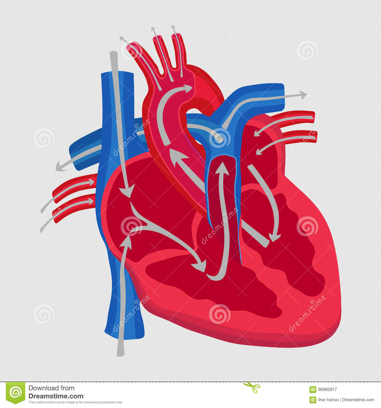 The Human Heart The Study Of Anatomy The Path Of Blood Flow In