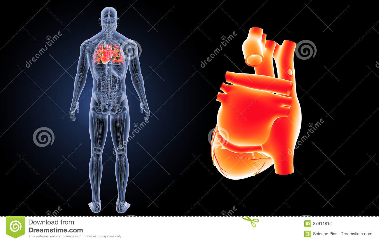 Human Heart Zoom With Anatomy Posterior View Stock Illustration