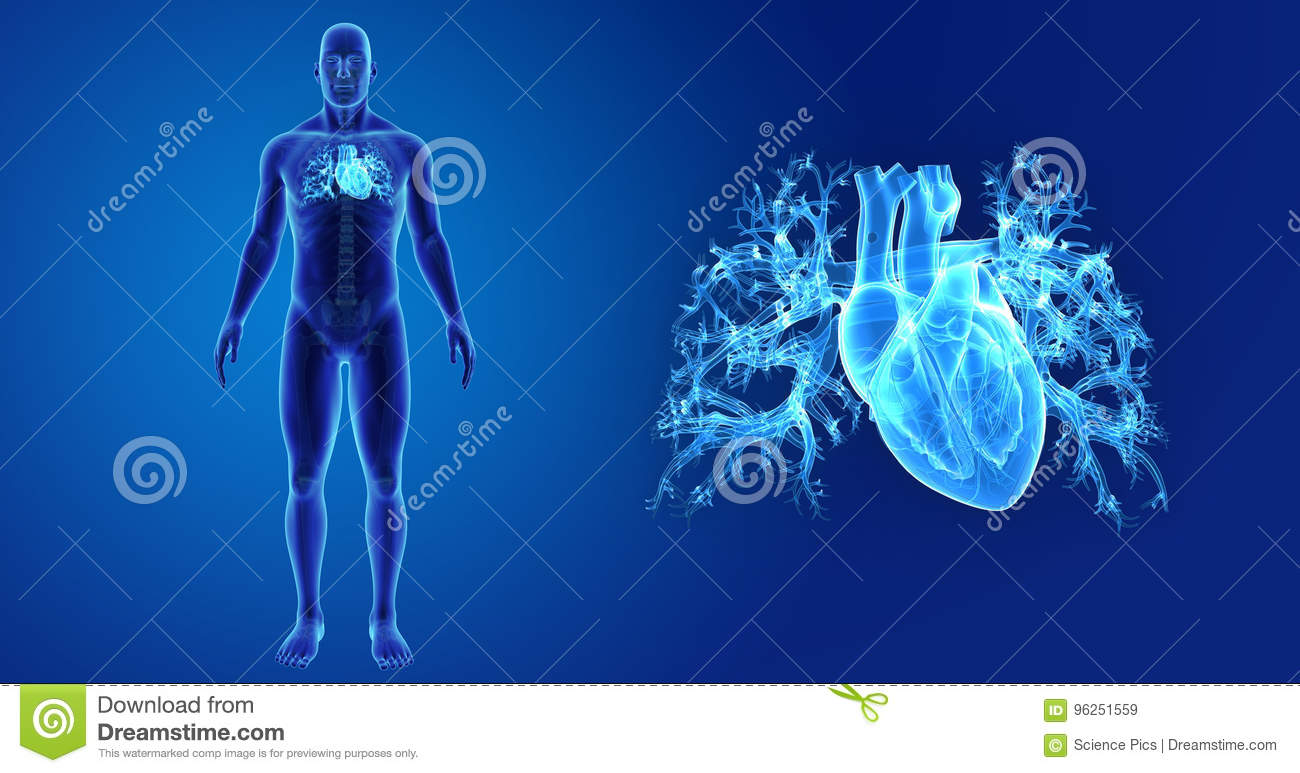 Human Heart Zoom With Skeleton Anterior View Stock Illustration ...