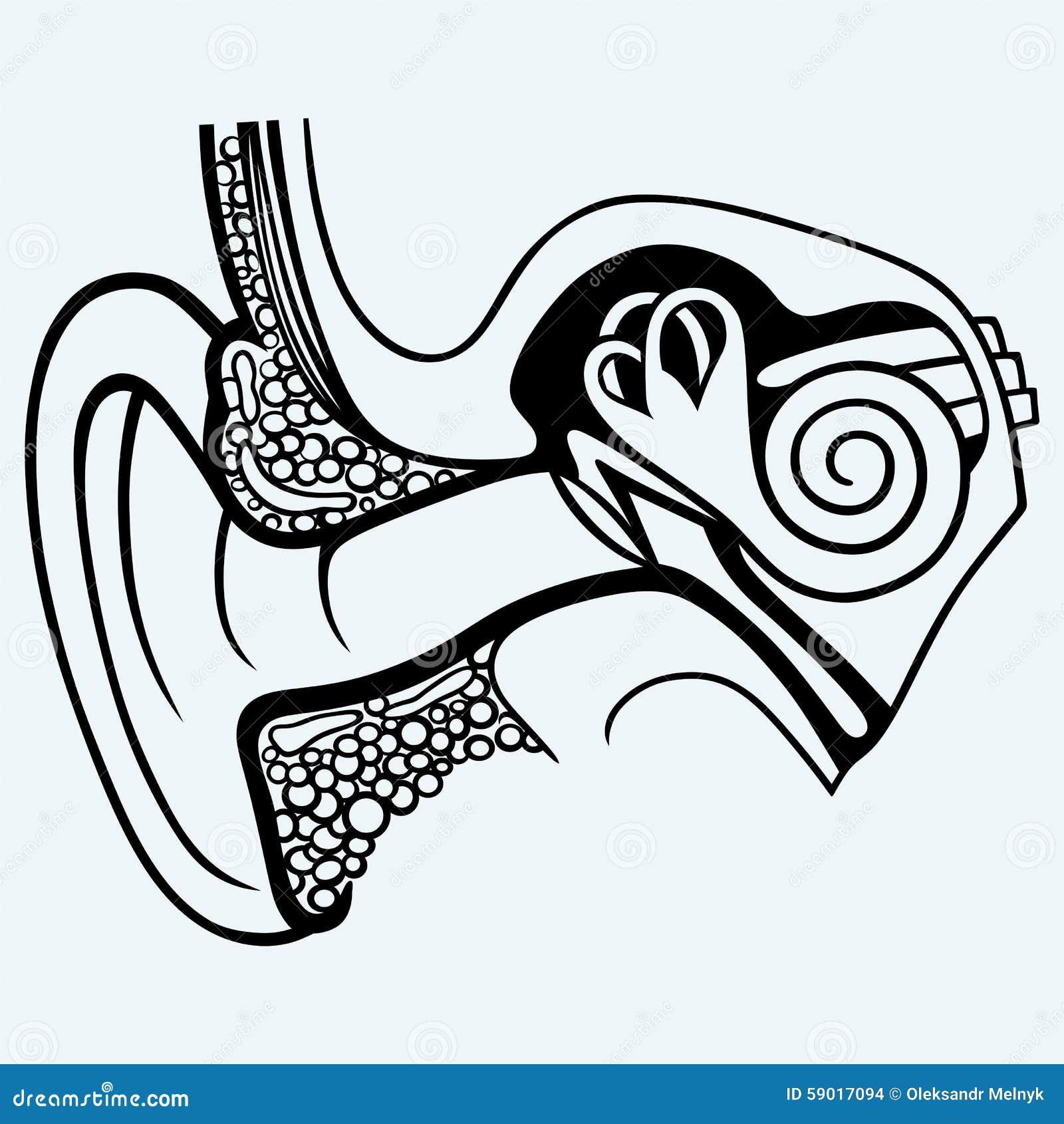 Human Internal Ear Diagram Stock Vector  Illustration Of