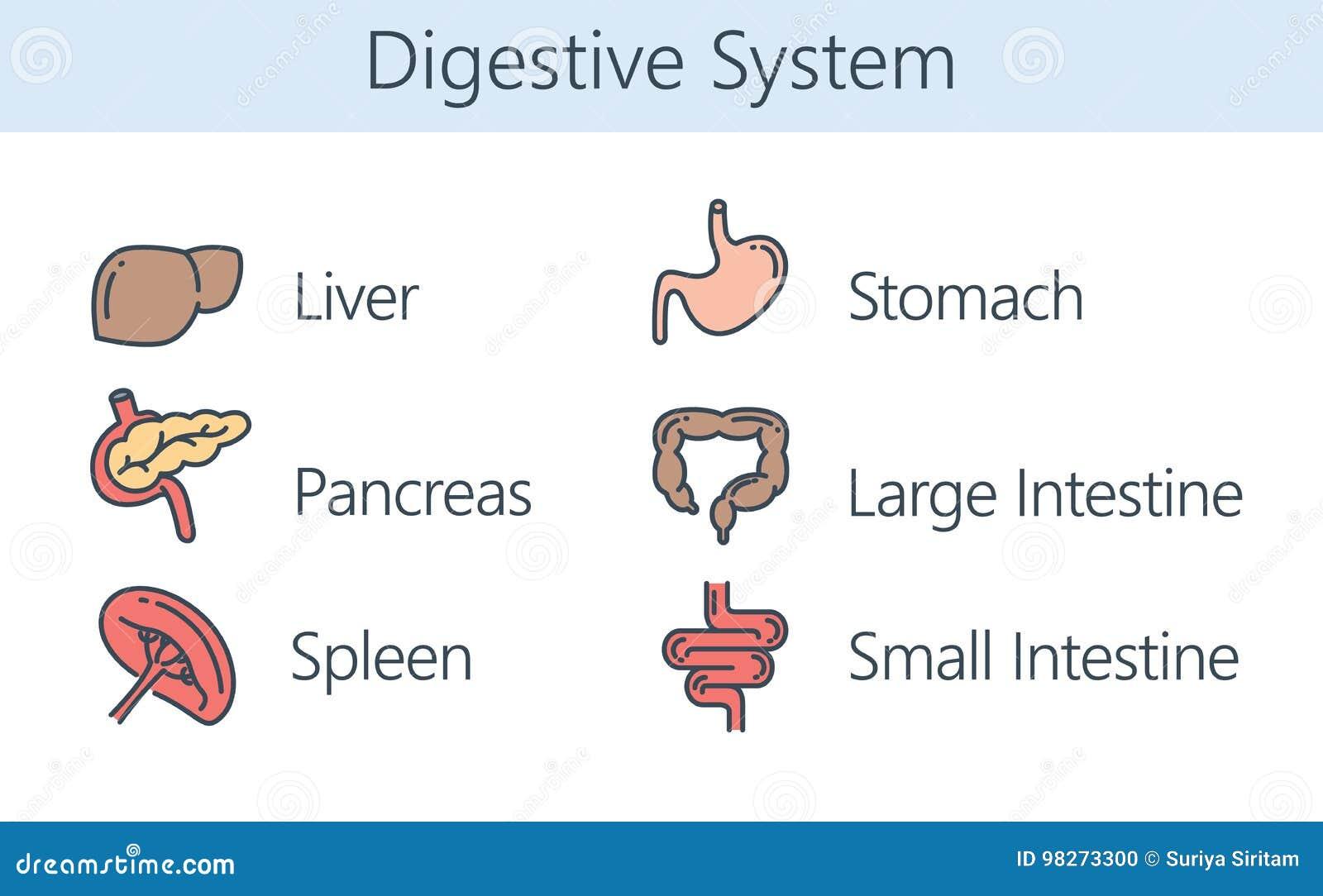 Human Internal Organ About Digestive System Stock Vector