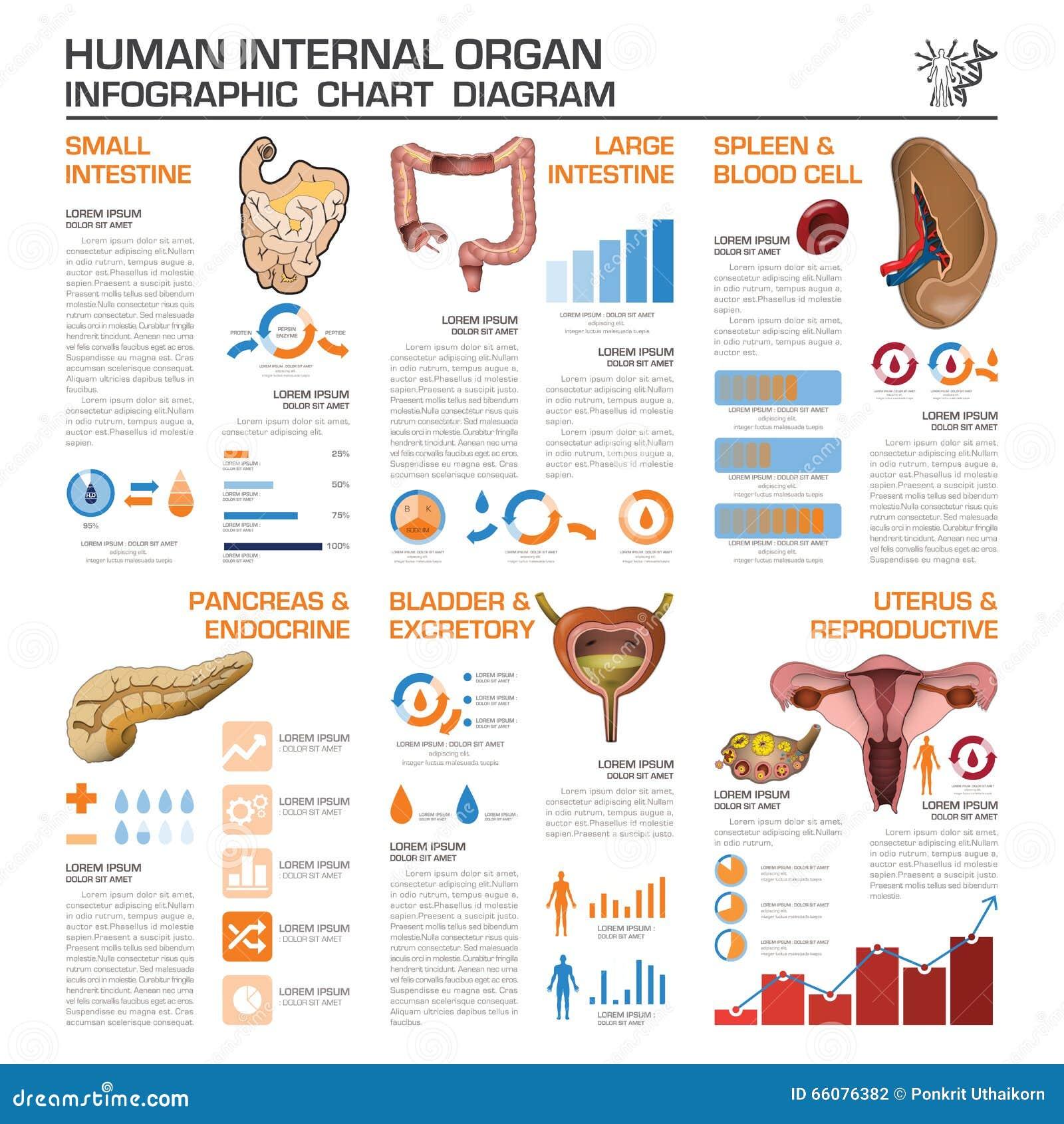 Human Internal Organ Health And Medical Infographic Chart Diagra ...