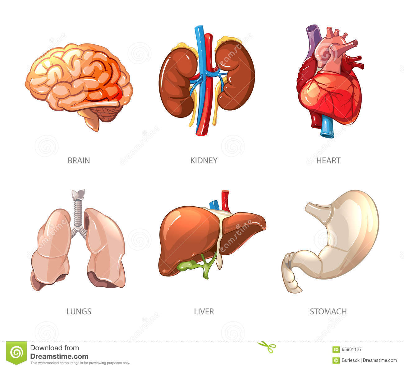 Human Internal Organs Anatomy In Cartoon Vector Style Stock Vector