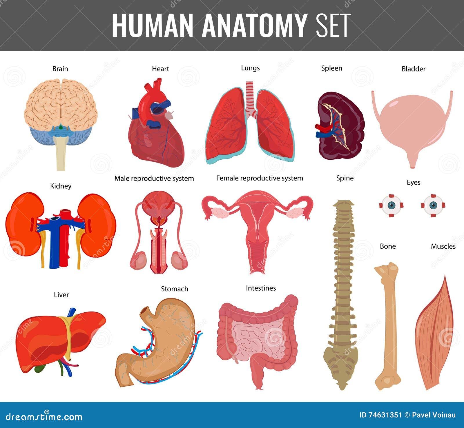 Human Internal Organs Anatomy Set Vector Stock Vector