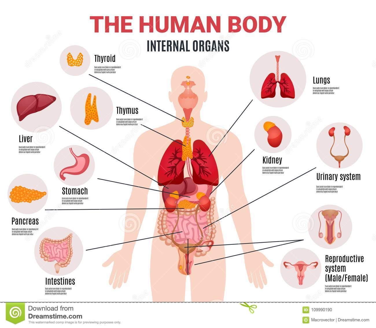 Human Internal Organs Infographic Poster Stock Vector Illustration