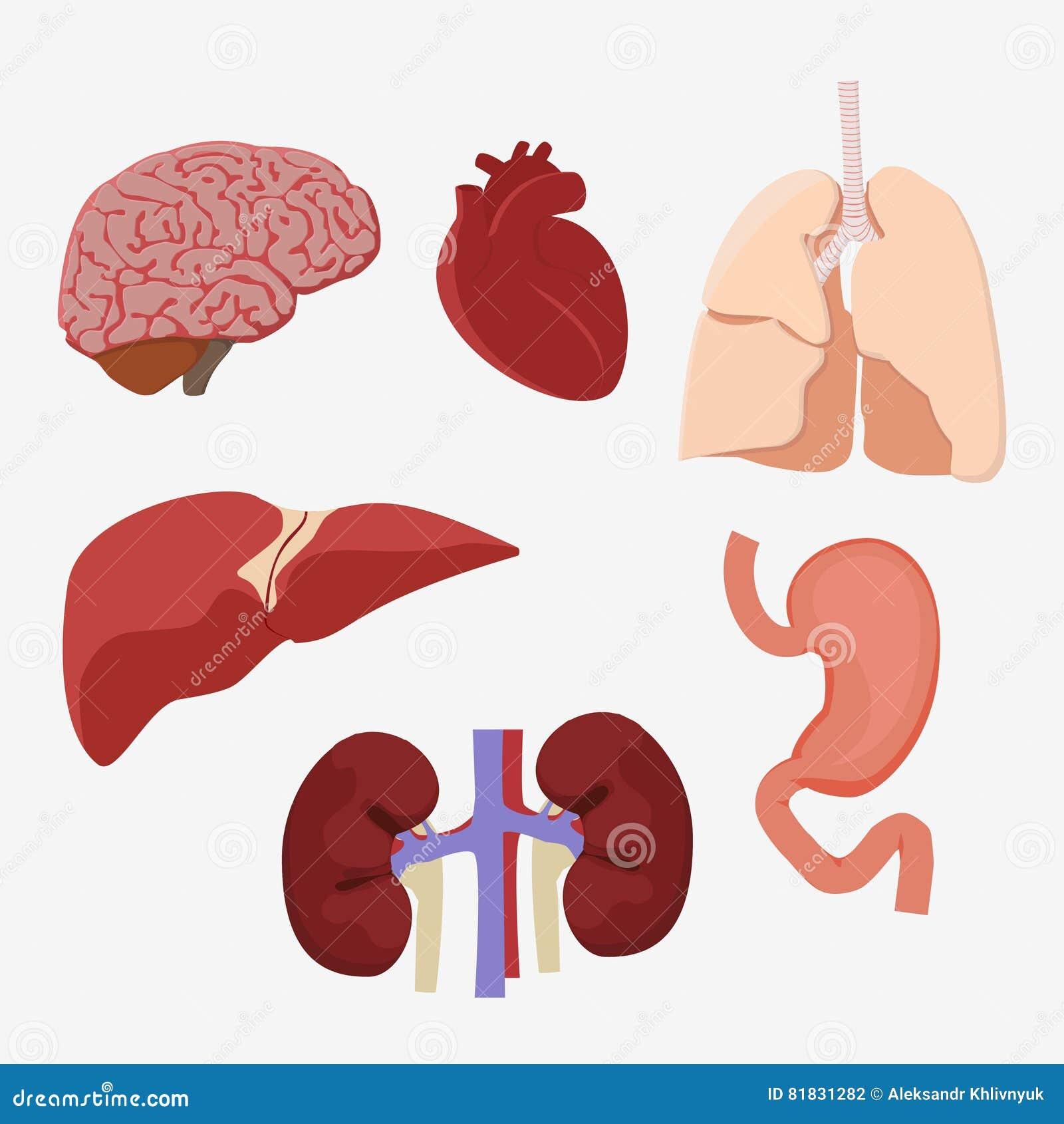 Human Internal Organs Stock Illustration Illustration Of Biology
