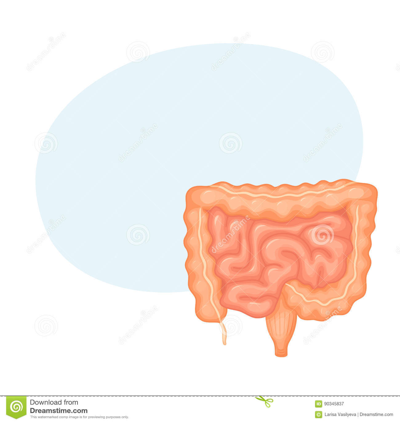 Human Intestines Anatomy Stock Vector Illustration Of Abdomen