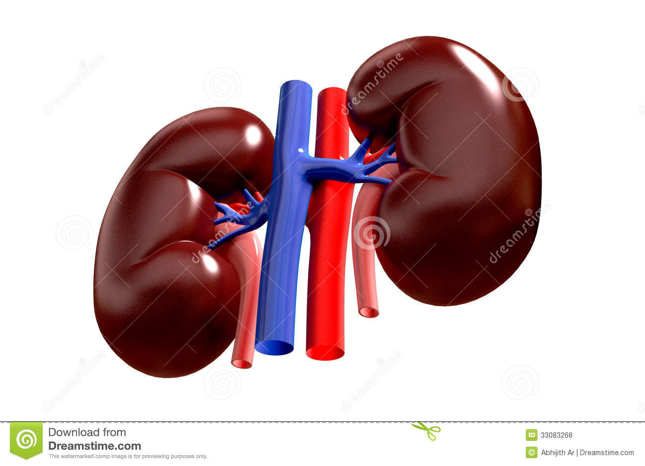 Royalty Free Stock Photos Human Kidney Digital Illustration Digital Background Image33083268