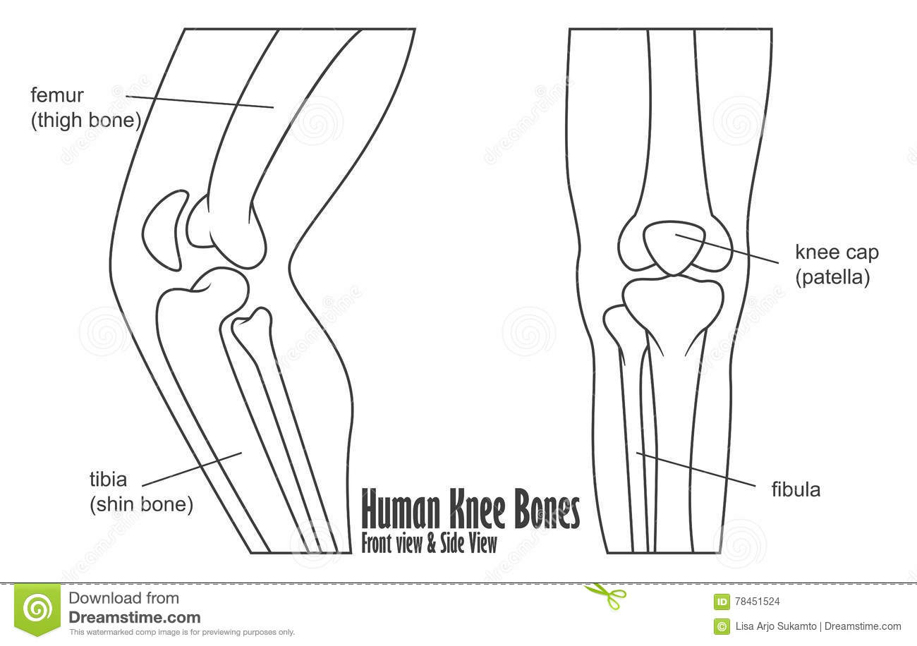 Human Knee Bones Front And Side View Anatomy Stock Vector ...
