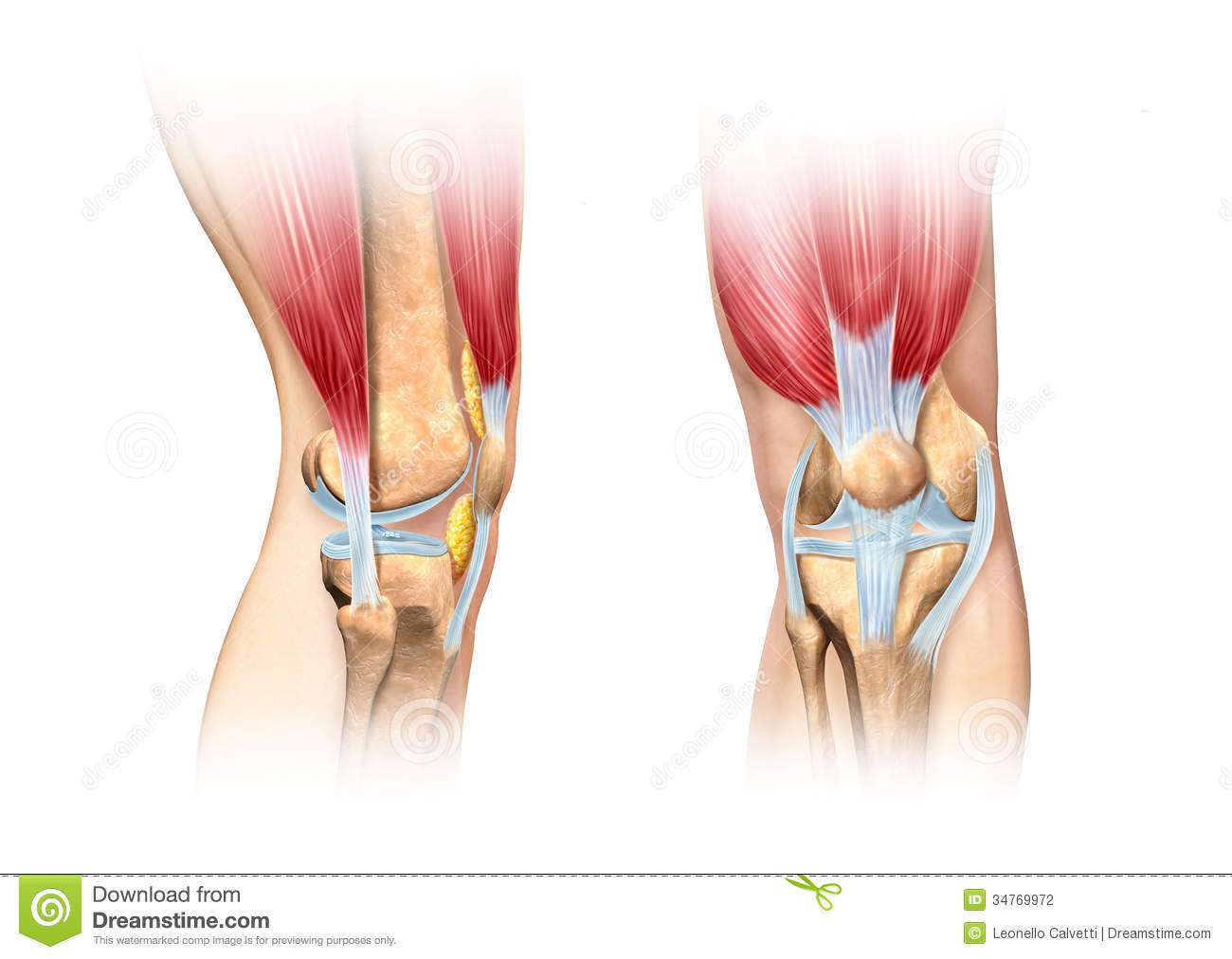human knee cutaway illustration. anatomy image. stock photography, Muscles