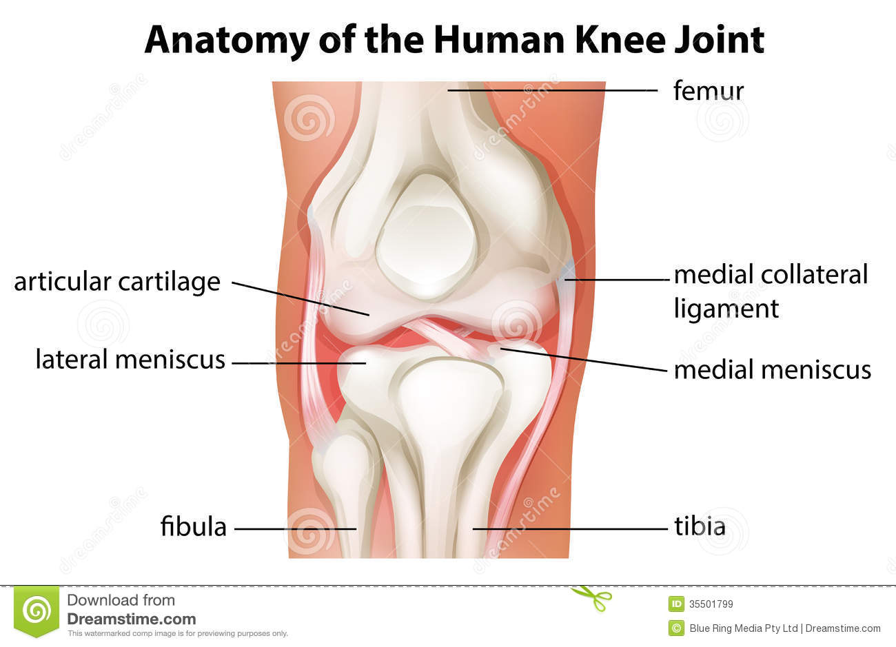 Royalty Free Stock Images Human Knee Joint Anatomy Illustration White Background Image35501799