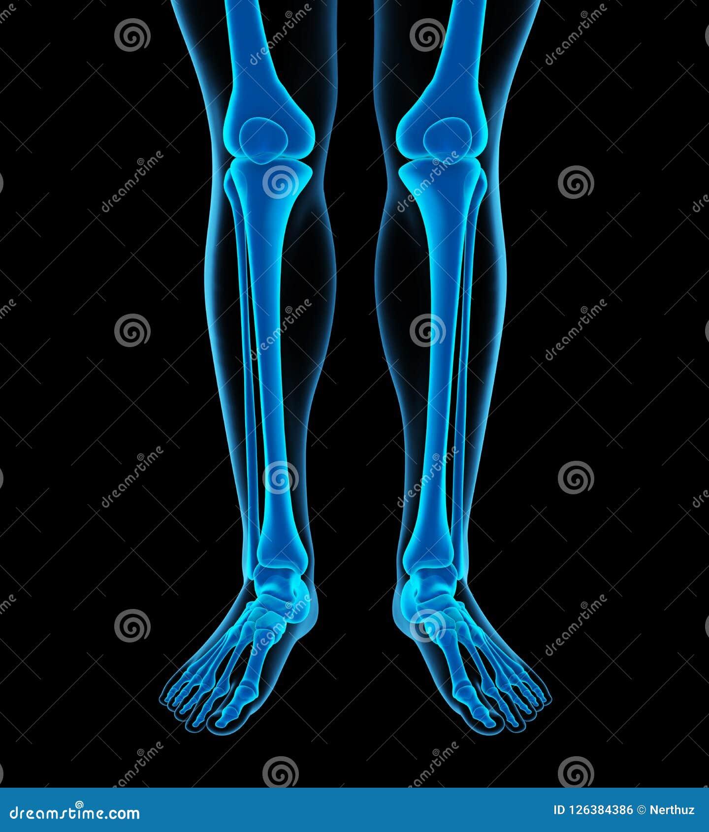 Human Leg Bones Anatomy Stock Illustration Illustration Of Bone