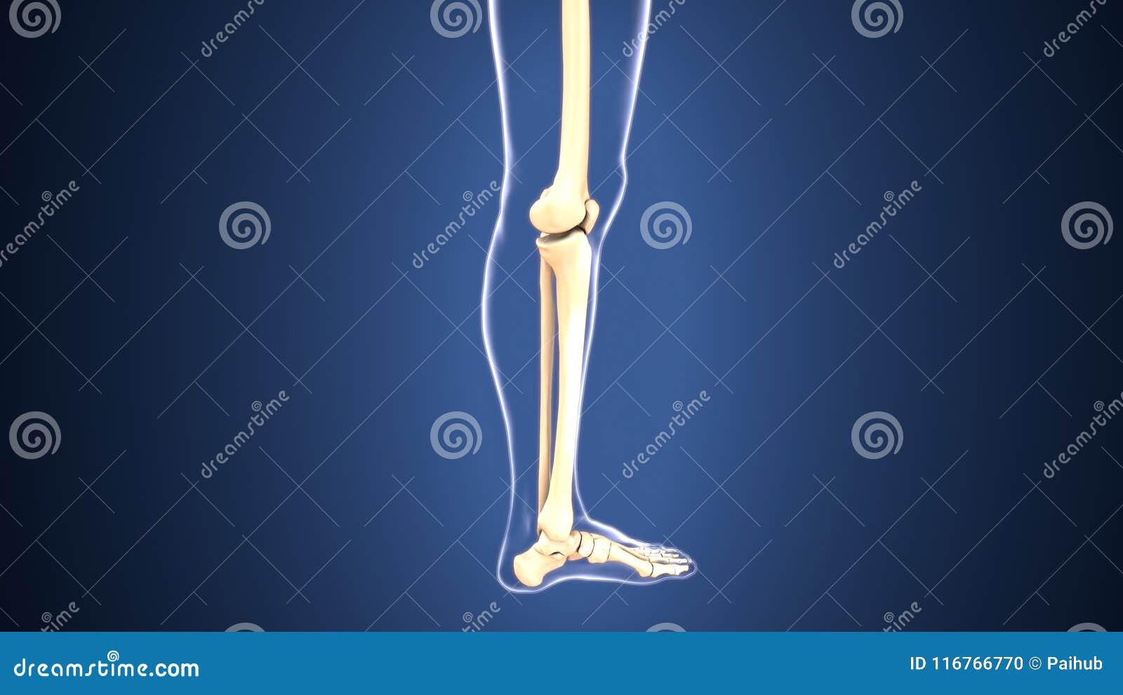 3d Illustration Of Skeleton Leg Bone Anatomy Stock Illustration