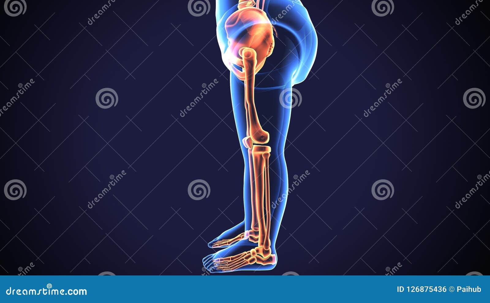3d Render Of Human Skeleton Lower Leg Pain Anatomy Stock