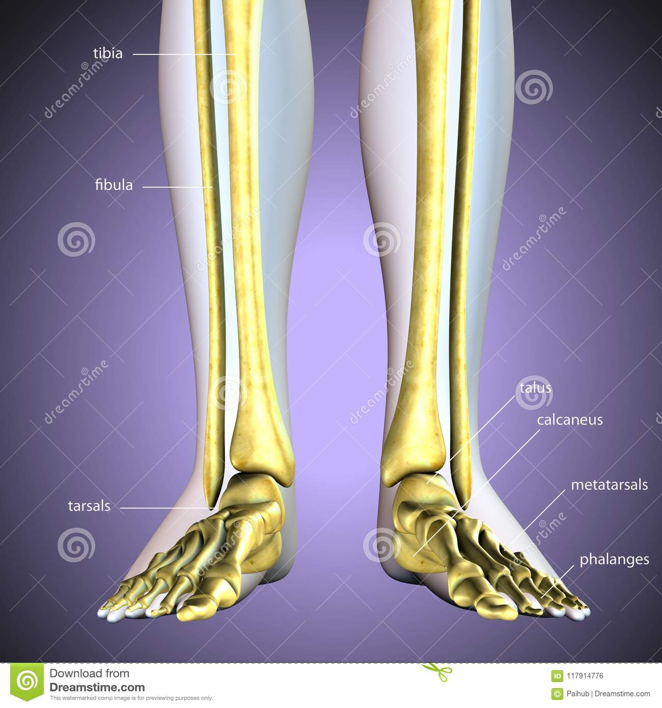 3d Illustration Of Skeleton Leg Bone Anatomy Stock Illustration