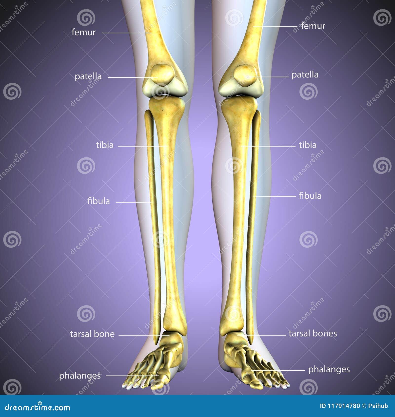 3d Illustration Of Skeleton Leg Bone Anatomy Stock Illustration ...