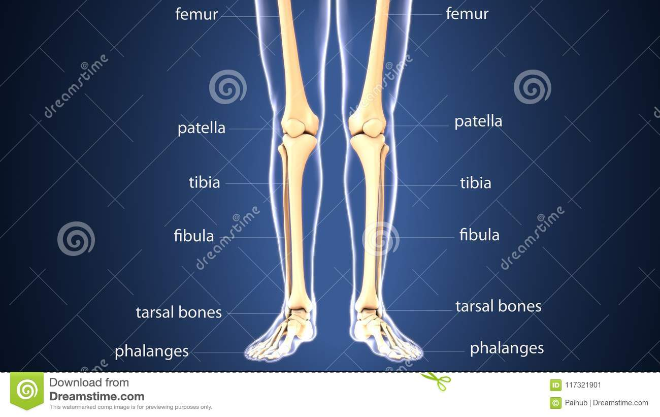 3d Illustration Of Skeleton Leg Bone Anatomy Stock Illustration ...