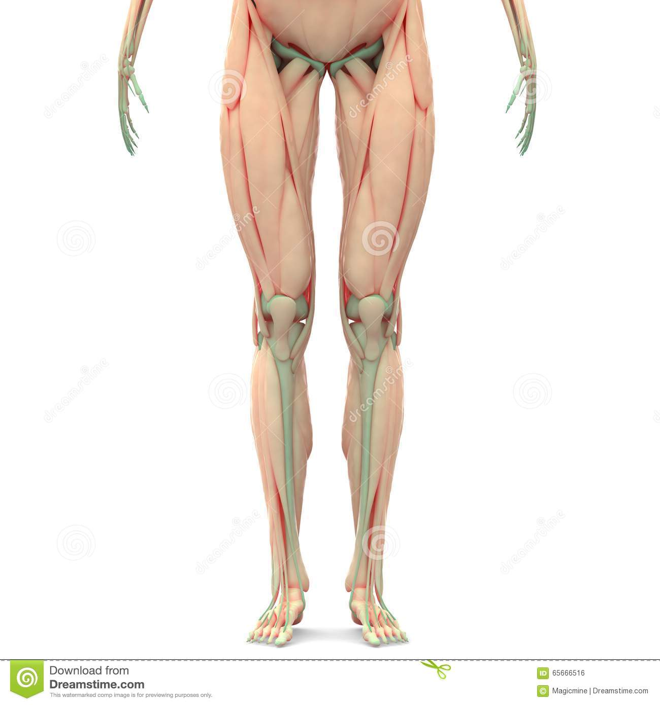 Human Leg Joints With Muscles Stock Illustration Illustration Of