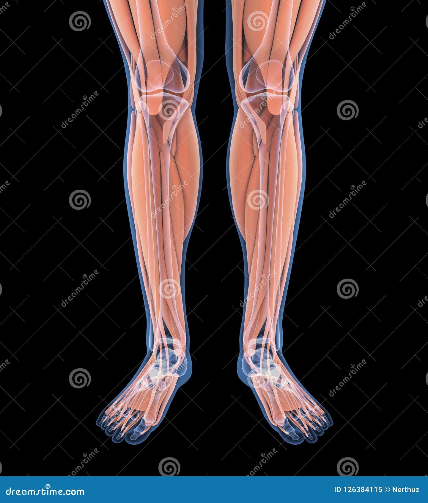 Human Leg Muscles Anatomy Stock Illustration Illustration Of Bone