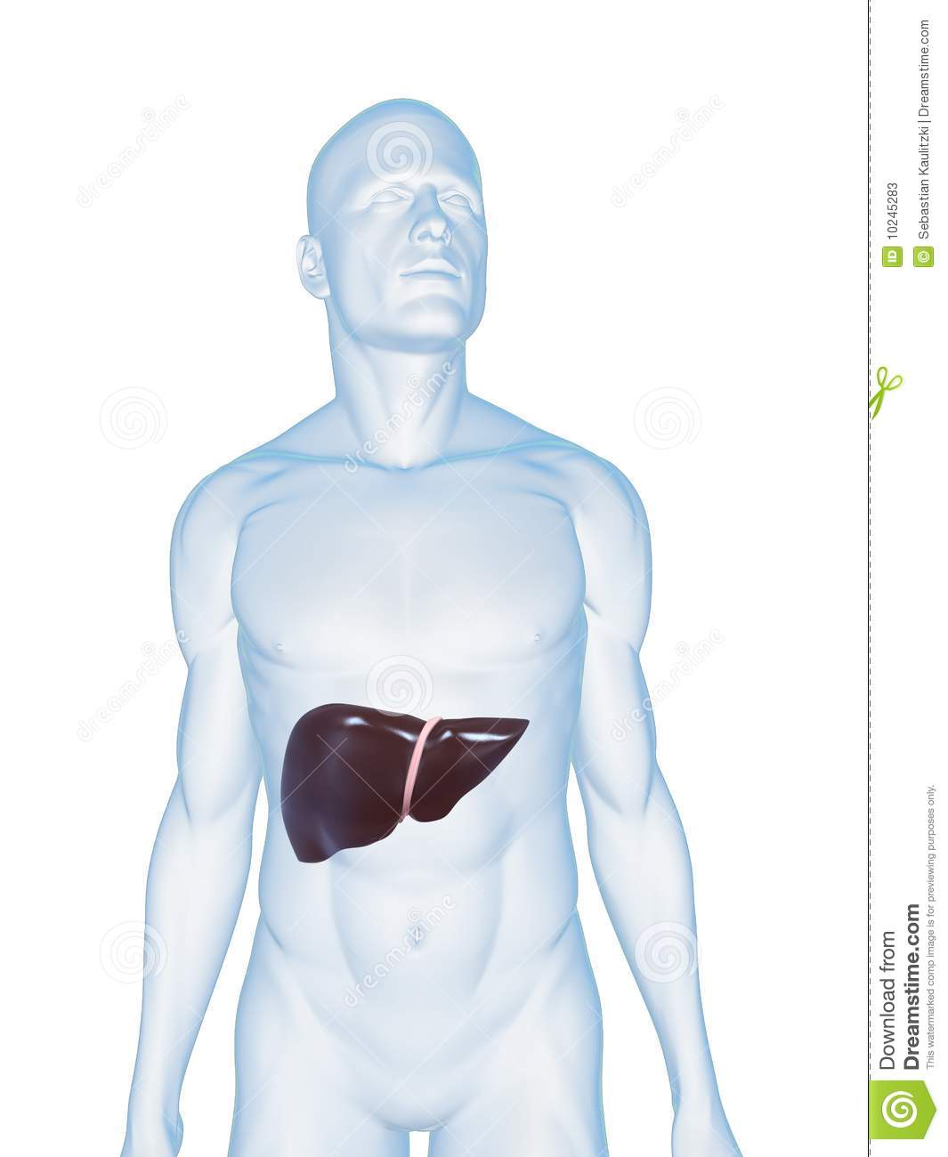 Human liver stock illustration illustration of health 10245283 3d rendered illustration of a transparent male body with liver ccuart Choice Image