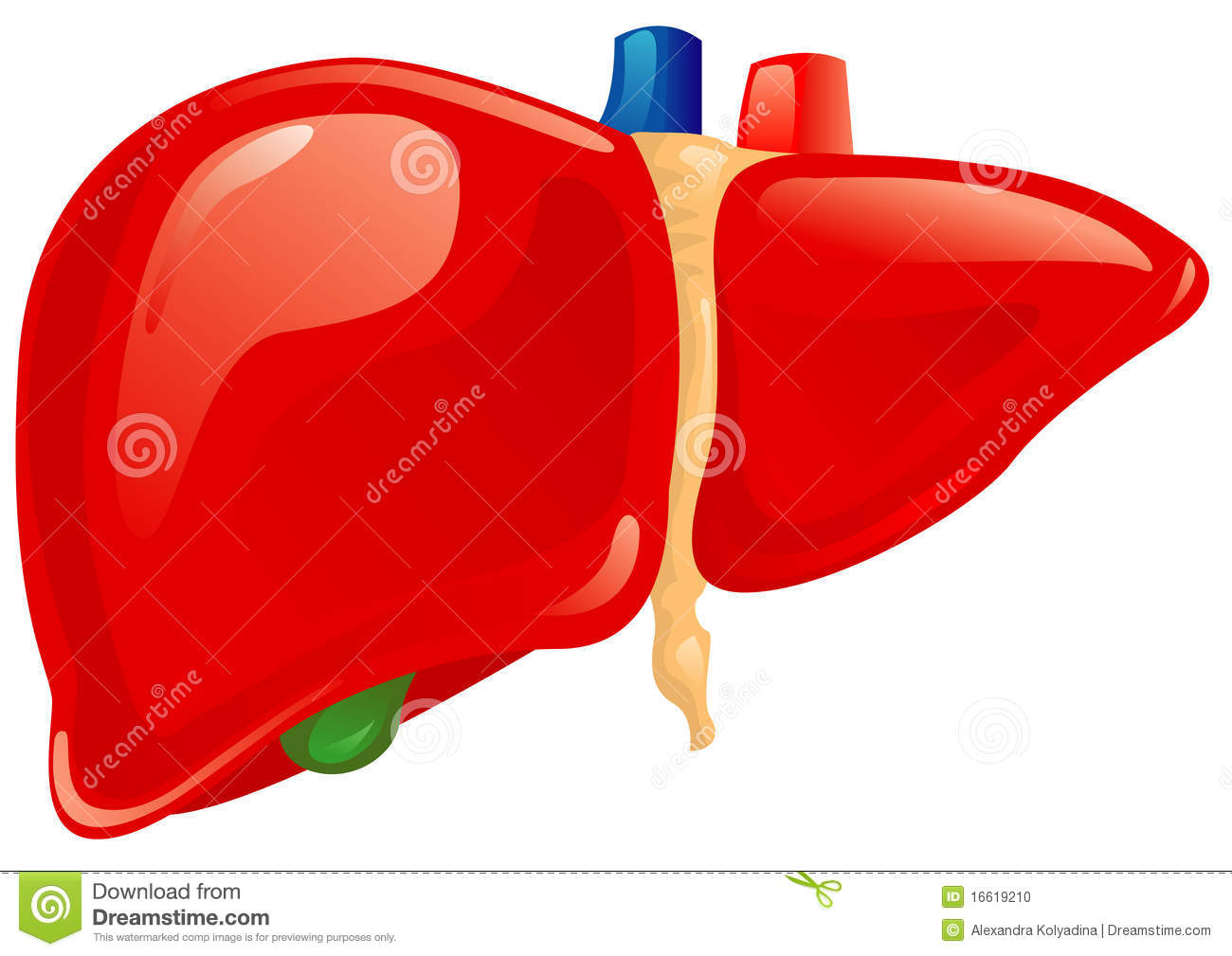 Human liver stock vector. Illustration of spleen, anatomy ...