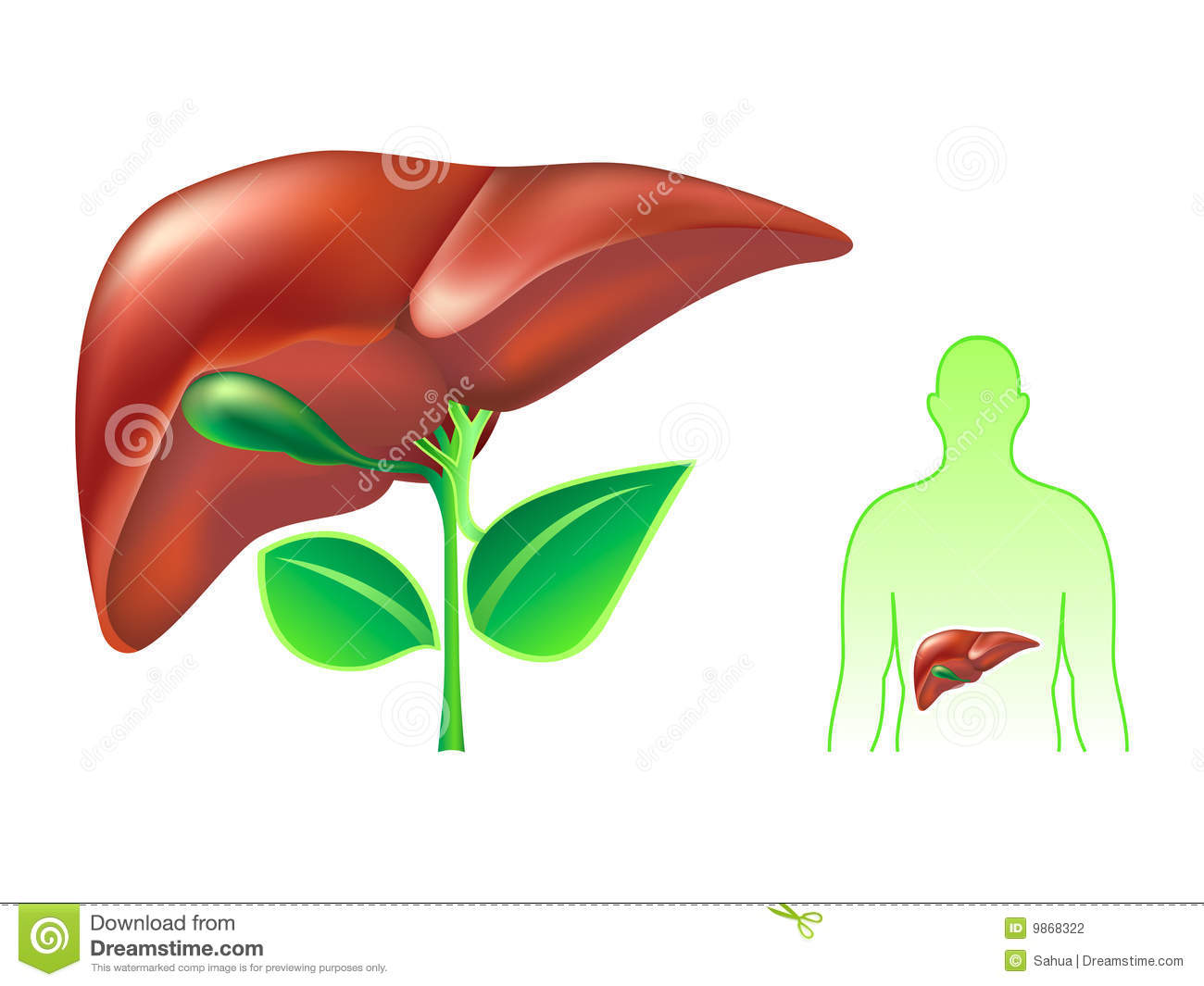 Human Liver Stock Photography - Image: 9868322