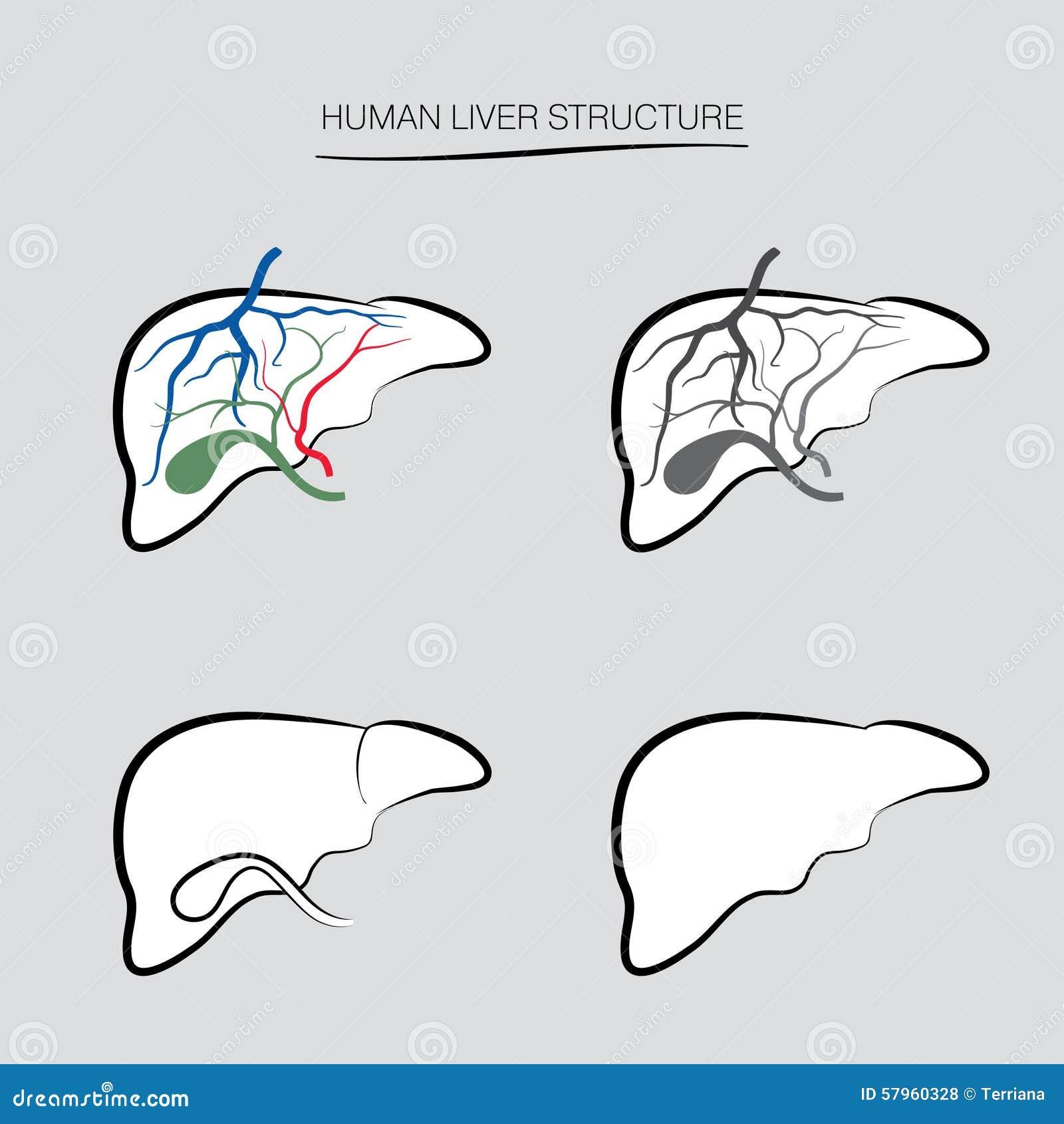 Human Liver Anatomy Human Internal Organ Icons Stock Illustration