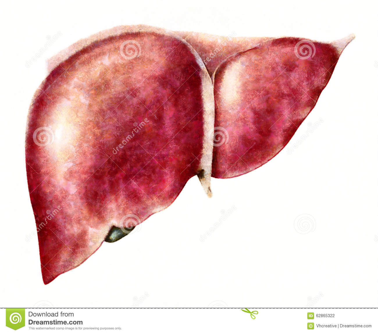 Human liver anatomy stock illustration. Illustration of medical ...