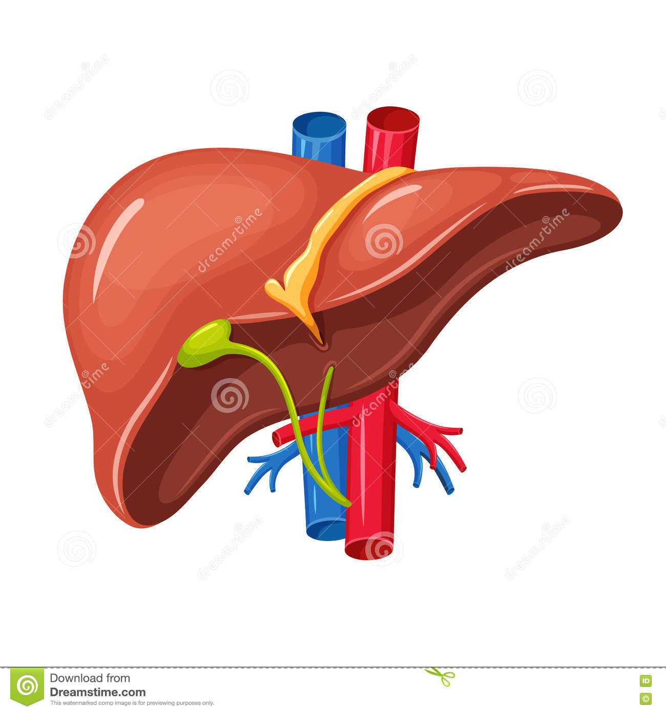 Human liver anatomy stock vector. Illustration of health - 72820293