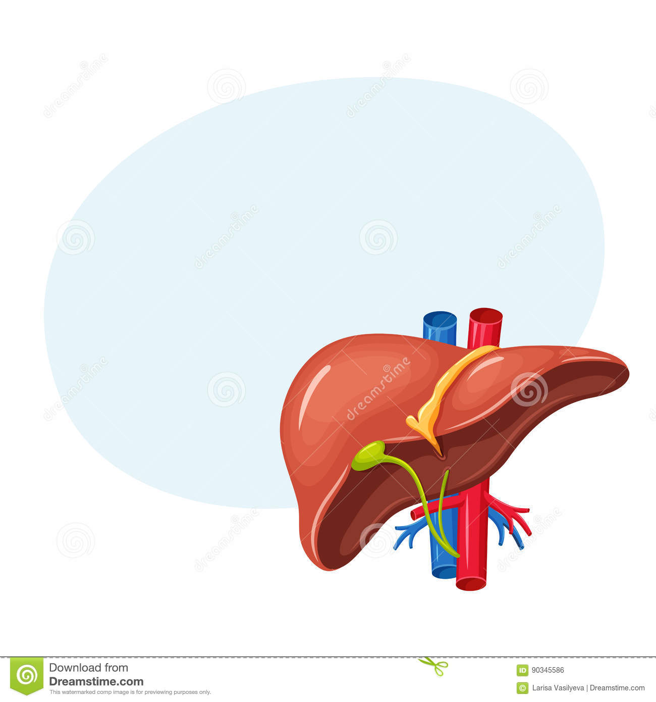 Human liver anatomy stock vector. Illustration of gall - 90345586