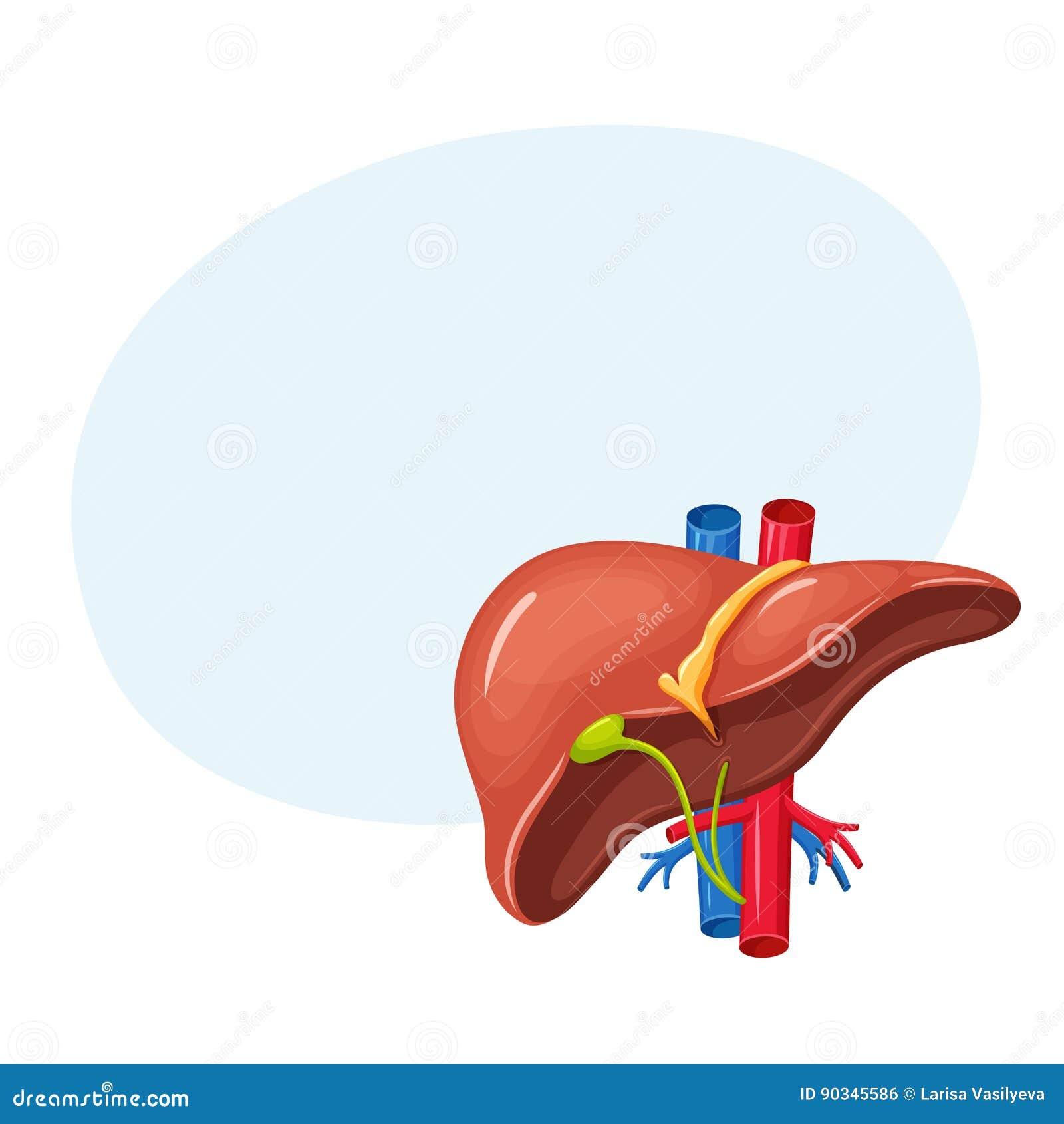 Human Liver Anatomy Stock Vector Illustration Of Gall 90345586