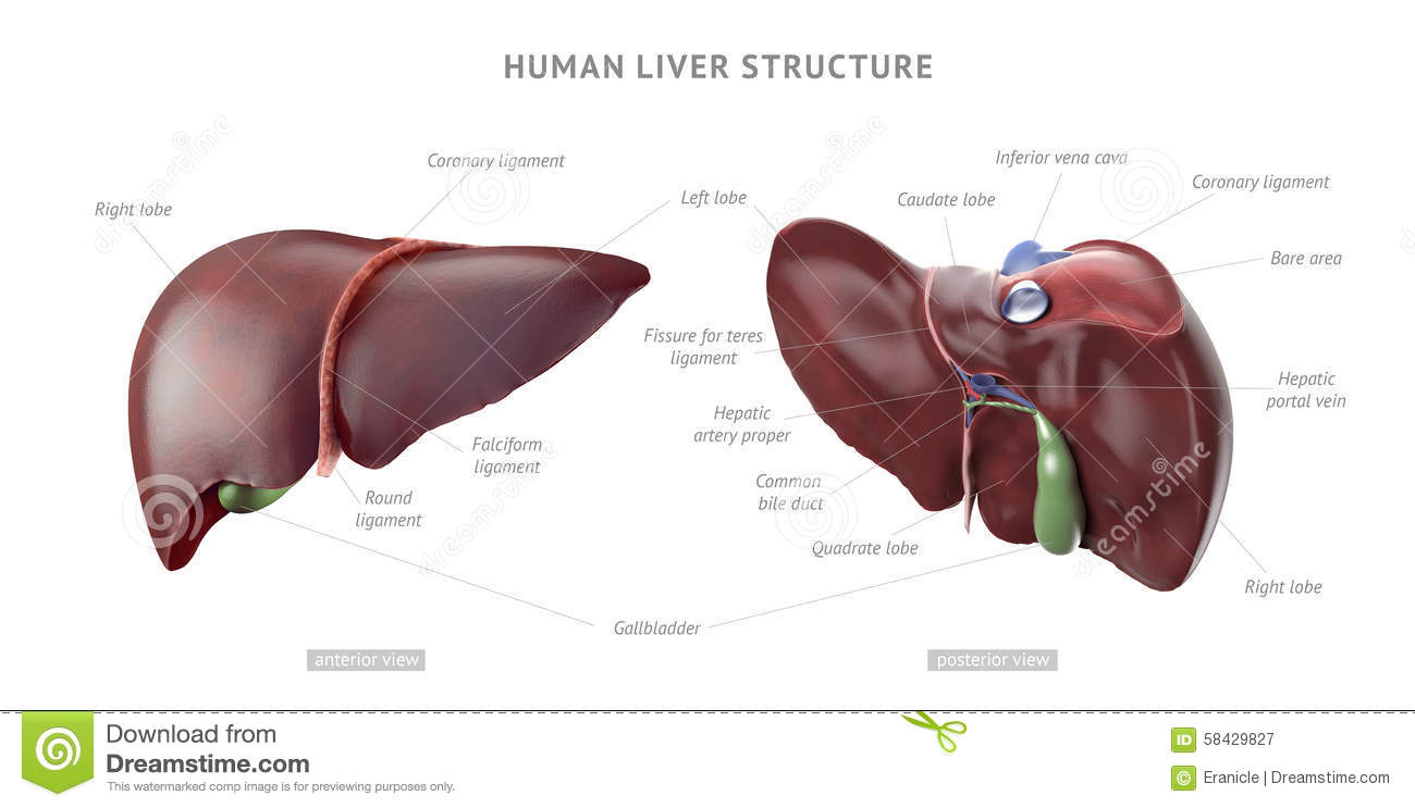 Human Liver Anatomy Stock Illustration Illustration Of Medical