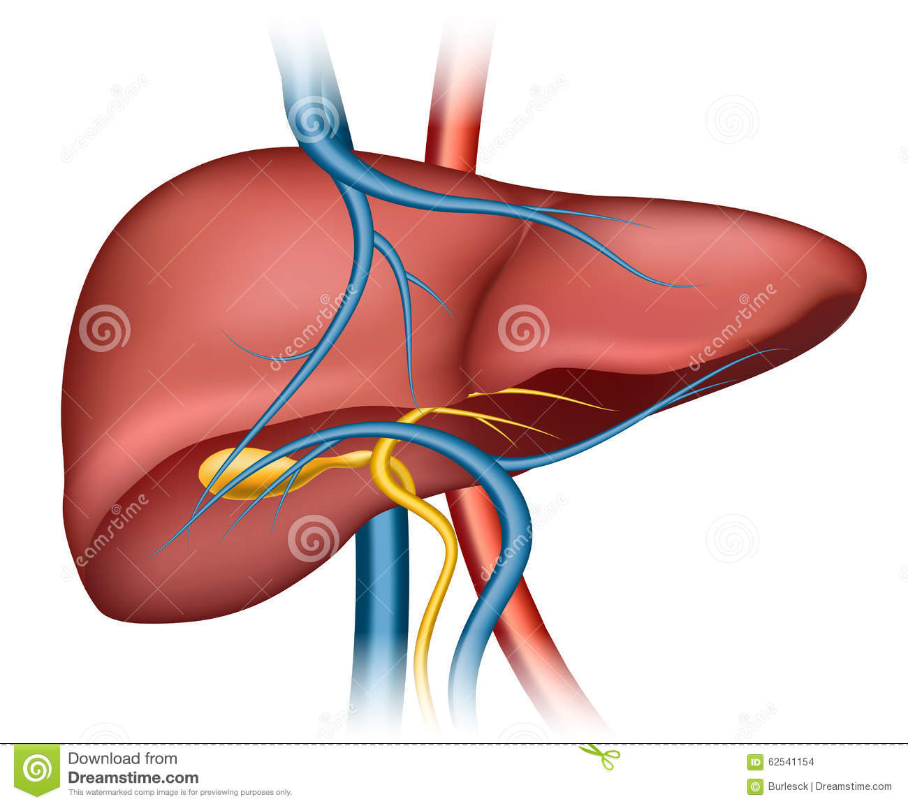 Human liver structure stock vector. Illustration of ...