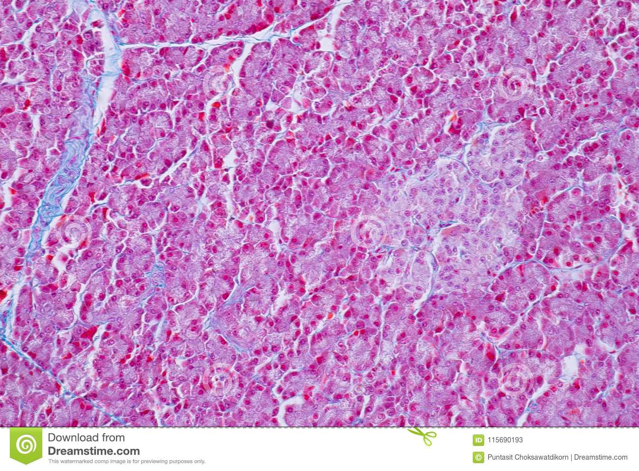 Human Liver Tissue Under Microscope View For Education Histology