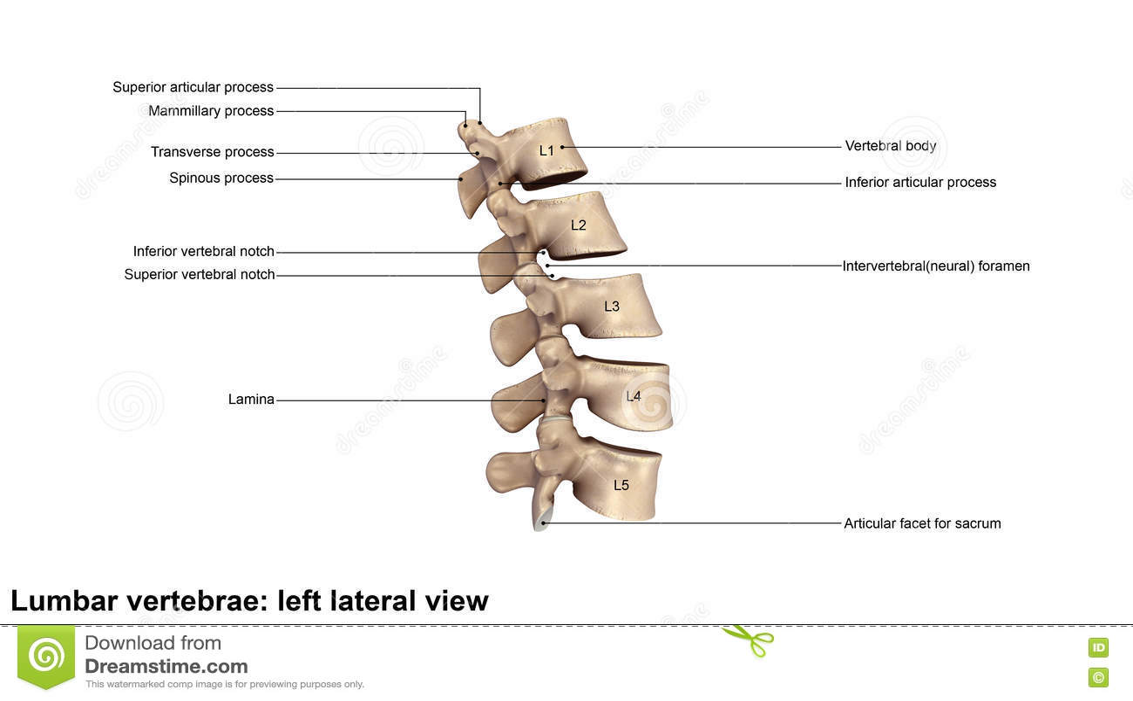 Human Lumbar Vertebral Column Stock Illustration Illustration Of