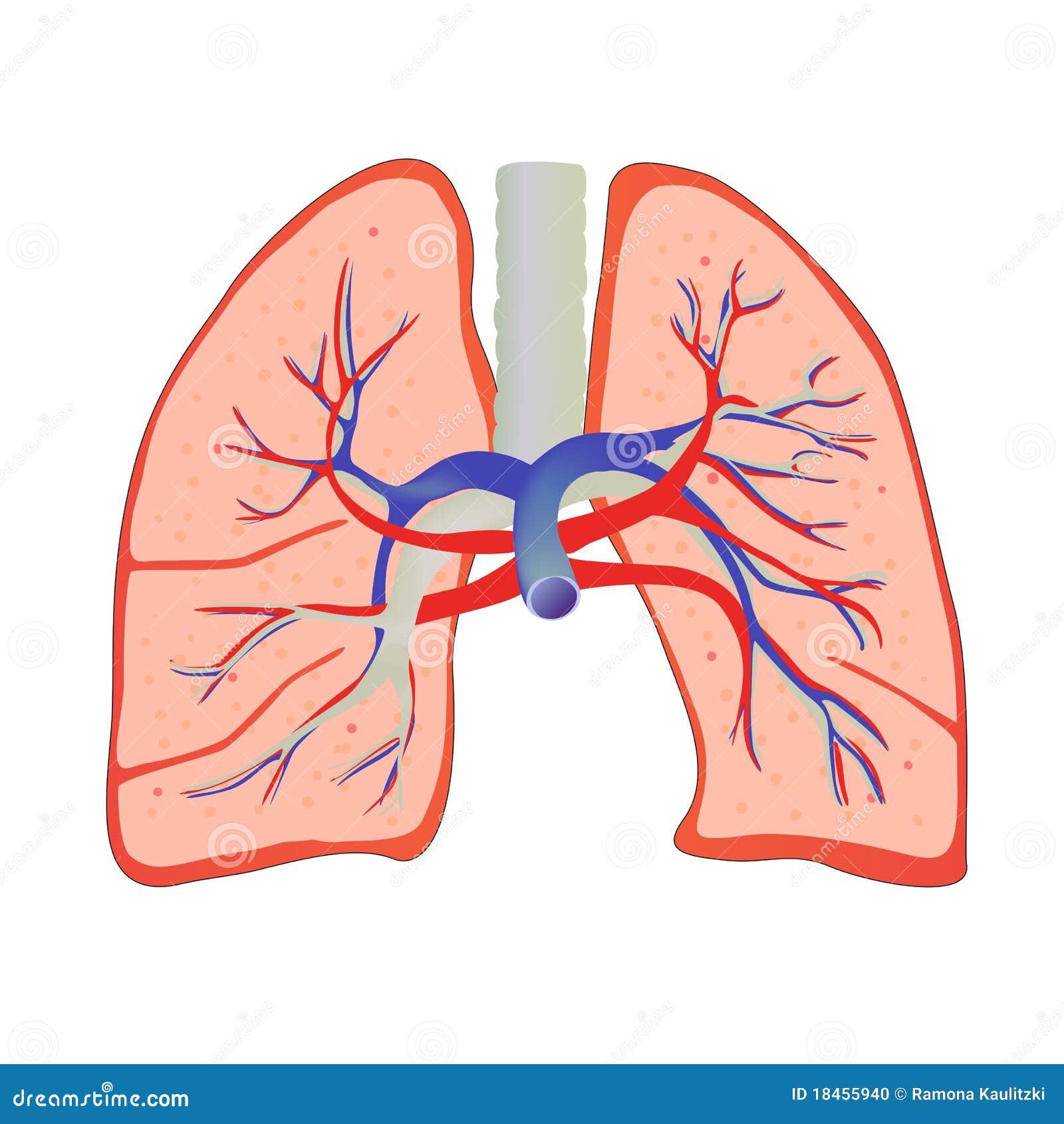 Human lung stock illustration illustration of breathing 18455940 illustration of isolated human lung anatomy ccuart Choice Image
