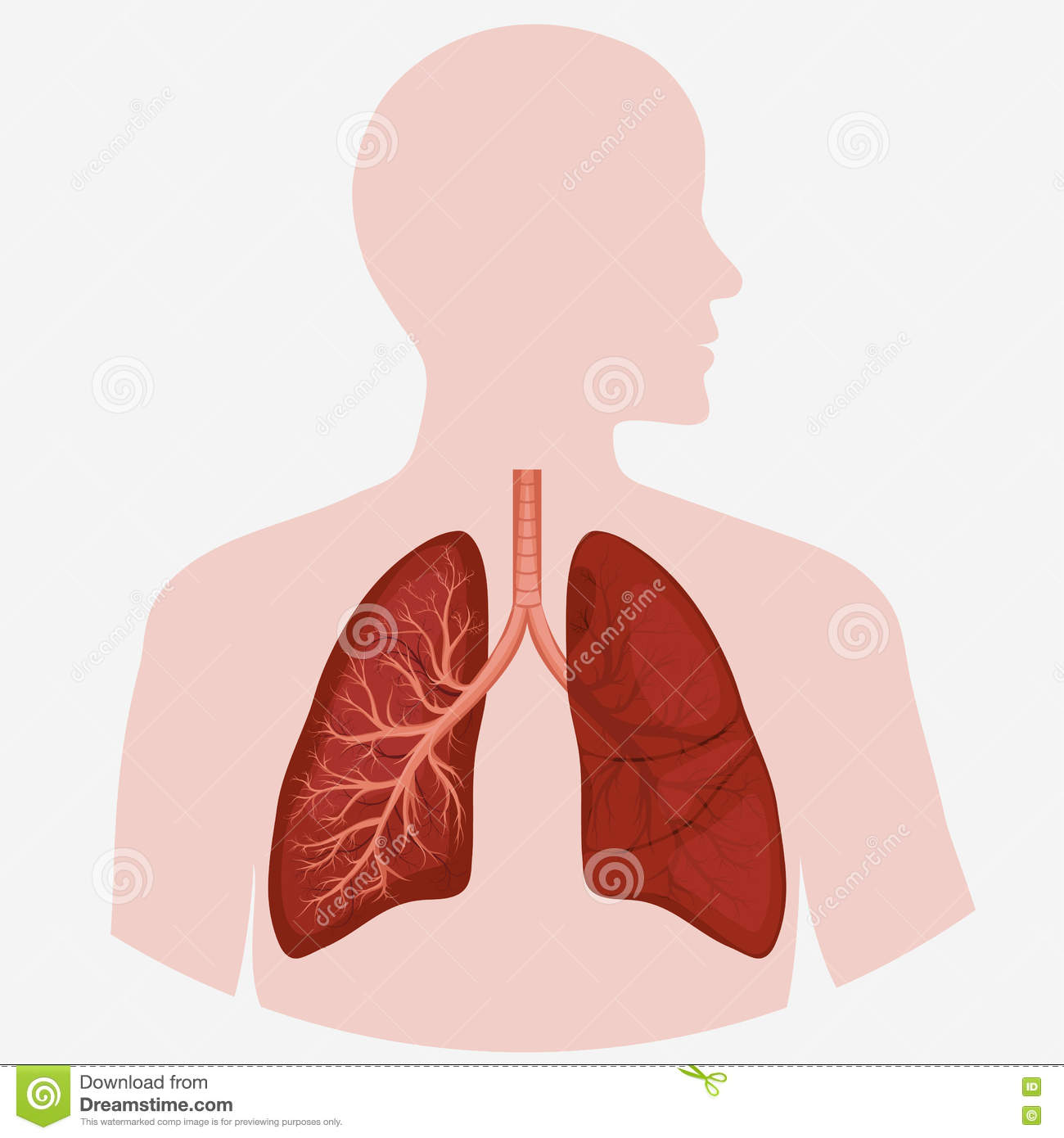 Human Lung Anatomy Diagram Stock Vector Illustration Of Anatomy