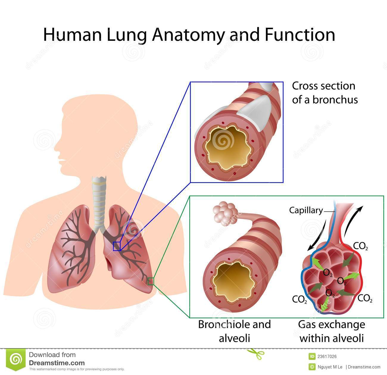 Human Lung Anatomy And Function Stock Vector Illustration Of