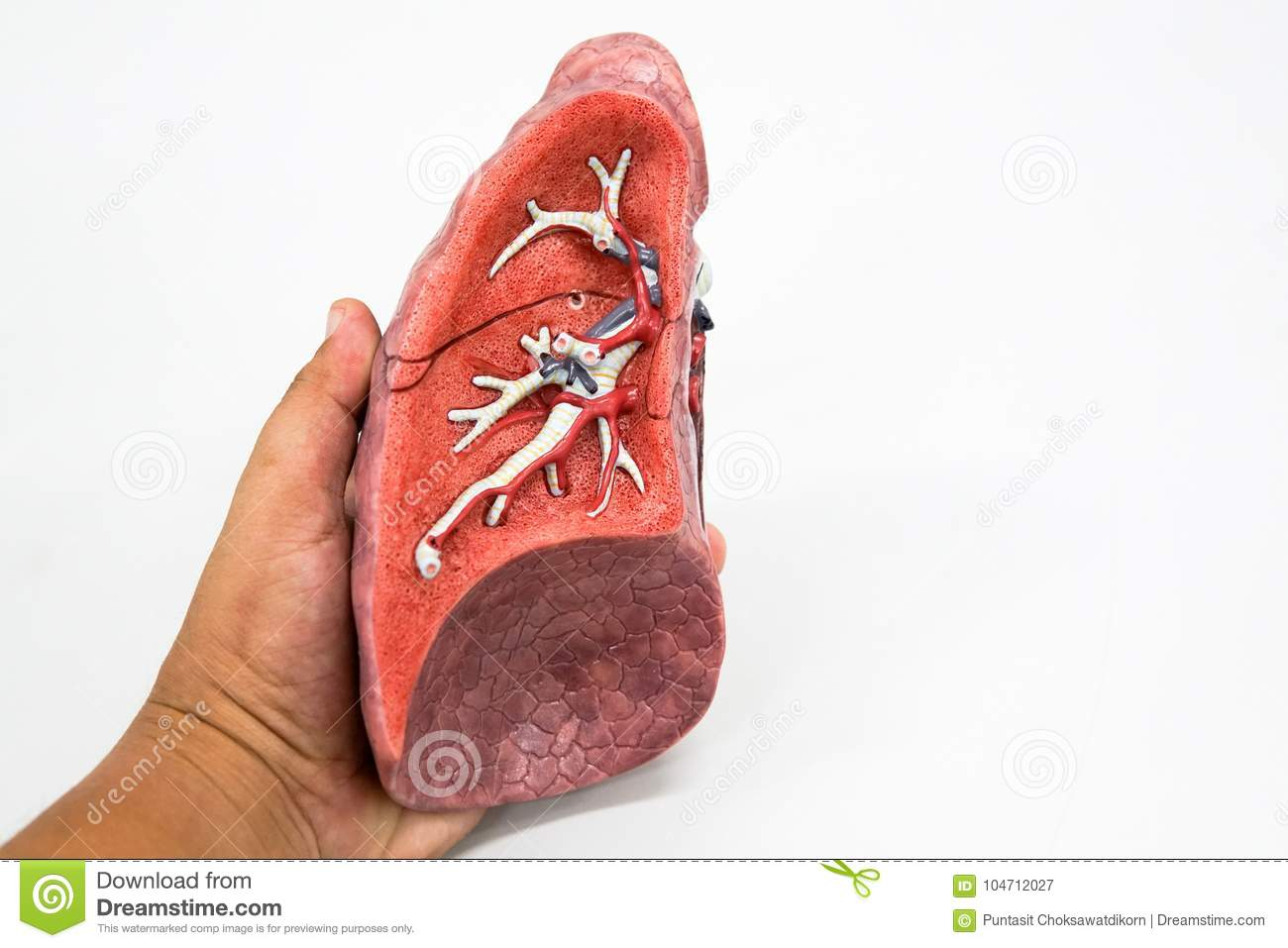 Human Lung Anatomy Model Stock Image Image Of Chest 104712027